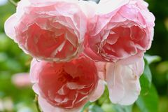 Flor bonita no jardim Imagens de Stock Royalty Free