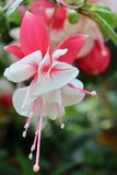 Flor bonita no jardim Fotos de Stock