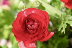 Flor bonita no jardim Imagens de Stock