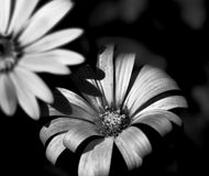 Flor bonita preto e branco Fotografia de Stock Royalty Free