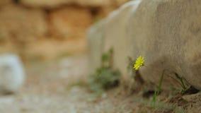 Flor bonita que floresce sob a pedra pesada de ruínas antigas, começo novo video estoque