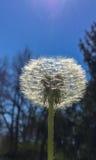 Flor bonita que retém as pétalas antes de ser fundido pelo vento imagem de stock