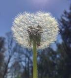 Flor bonita que retém as pétalas antes de ser fundido pelo vento foto de stock royalty free