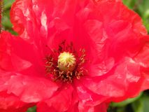 Flor bonita vermelha da papoila, Lituânia Imagem de Stock