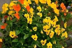 A flor bonita vermelha e amarela no jardim brilhou no sol fotos de stock royalty free