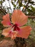 Flor bonito do medcinal da flor do hibiscus imagem de stock