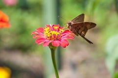 Flor borboleta Fotografia Stock