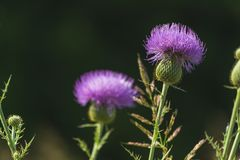 Flor borrosa púrpura Fotografía de archivo libre de regalías