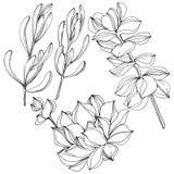 Flor botânica floral suculento do vetor Arte gravada preto e branco da tinta Elemento isolado da ilustração das plantas carnudas ilustração do vetor