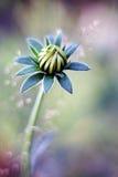 Flor-botão Fotografia de Stock