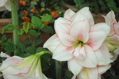 Flor branca Foto de Stock