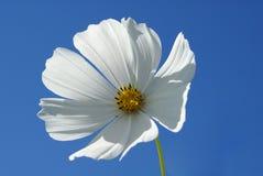 Flor branca Foto de Stock Royalty Free