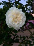 Flor branca Fotos de Stock