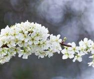 Flor branca Fotos de Stock Royalty Free