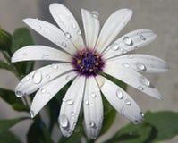 Flor branca Fotografia de Stock Royalty Free
