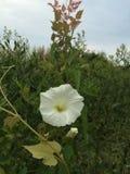 Flor branca Imagem de Stock Royalty Free