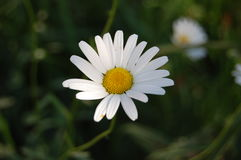 A flor branca Fotos de Stock Royalty Free