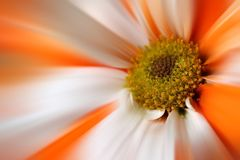 Flor branca alaranjada da margarida de Gerber Imagem de Stock