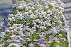 Flor branca & cor-de-rosa Foto de Stock