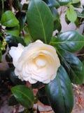 Flor branca bonita Foto de Stock Royalty Free