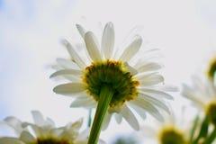 Flor branca bonita Fotos de Stock Royalty Free