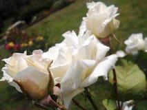 Flor branca bonita coberta com as gotas de água com as folhas no fundo Foto de Stock