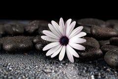 Flor branca bonita com as pedras no fundo escuro Imagens de Stock Royalty Free