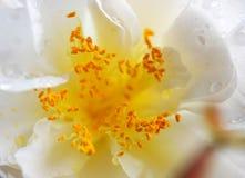 Flor branca bonita com estame amarelo imagens de stock