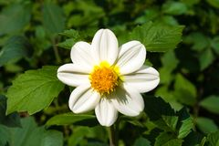 Flor branca bonita da dália imagens de stock royalty free