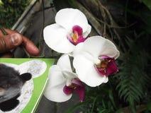 Flor branca bonita da orquídea da cor de Phalenopsis spp fotos de stock royalty free
