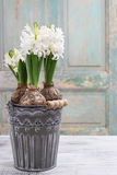 Flor branca bonita do Hyacinth Foto de Stock Royalty Free