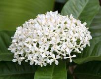 Flor branca bonita do ixora Imagem de Stock