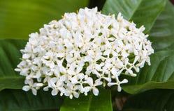 Flor branca bonita do ixora Fotografia de Stock Royalty Free