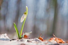 A flor branca bonita do snowdrop começa a florescer na floresta fotos de stock