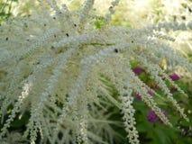 flor branca bonita do verão que decora o jardim imagens de stock