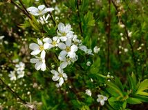 Flor branca bonita no jardim Imagens de Stock