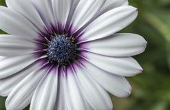 Flor branca bonita no macro imagens de stock