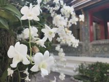 Flor branca bonita no templo Fotografia de Stock Royalty Free