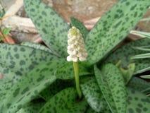 Flor branca bonita Tailândia Foto de Stock