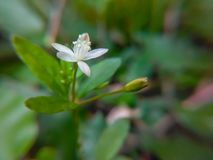 Flor branca com botão Imagens de Stock