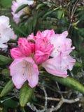 flor branca cor-de-rosa Fotografia de Stock