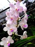 Flor branca cor-de-rosa tropical perfeita da magnólia Imagem de Stock