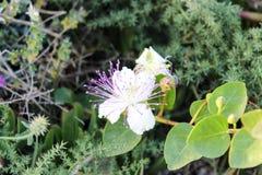 Flor branca da alcaparra fotografia de stock