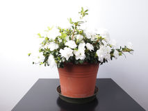 Flor branca da azálea Imagem de Stock Royalty Free