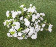 Flor branca da azálea Fotografia de Stock