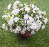 Flor branca da azálea Foto de Stock