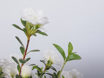 Flor branca da azálea Fotografia de Stock Royalty Free