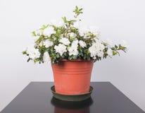 Flor branca da azálea Fotos de Stock Royalty Free