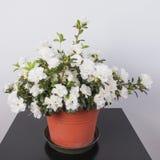 Flor branca da azálea Fotos de Stock