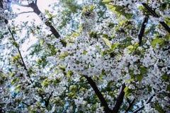 Flor branca da cereja Fotografia de Stock Royalty Free